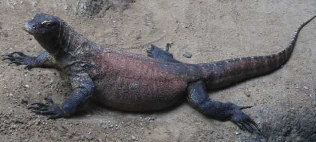 Monitor Lizard1