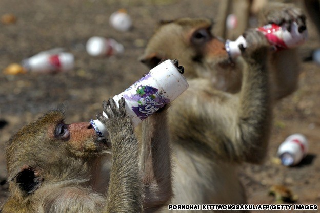 Monkeys drink milk beverages from bottle